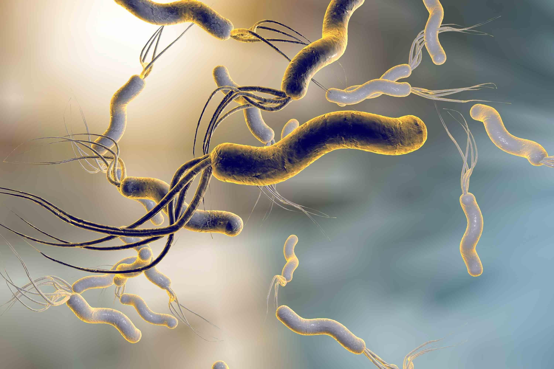 Helicobacter pylori est la première cause de gastrite chronique