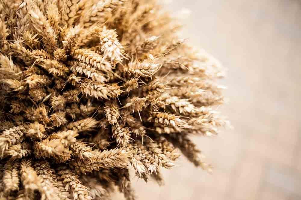 Le blé, vecteur de gluten doit être exclu de l'alimentation en cas de maladie cœliaque